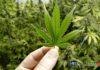 наркотици, Мексико, марихуана, канабис